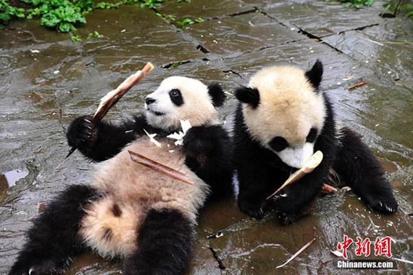 """""""卡哇伊""""!大熊猫宝宝进食憨态可掬"""