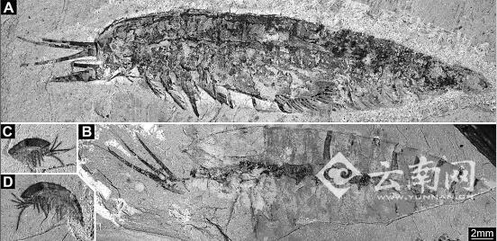澄江动物化石群中节肢动物林乔利虫成虫(a, b)和幼虫(c, d).