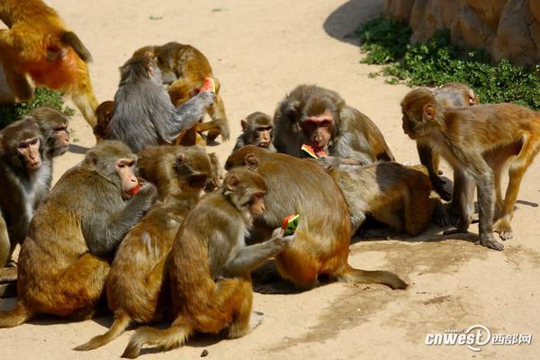 西安持续高温天气,秦岭野生动物园的猴子们抢食西瓜。 西部网讯(记者 贺桐秦振)连日来,古城西安持续高温天气,记者在西安秦岭野生动物园看到,饲养员们不仅为动物提供了绿豆汤、雪糕、西瓜等夏日美食,还采取开放空调、设置水池、为动物冲凉等措施对抗高温,帮助动物们惬意度夏。 其实每个动物的习性还是有略微的区别,在酷暑天气下,也并不一定是越凉越好。西安秦岭野生动物园动物管理部部长赵阳说。 赵阳表示,虽然大部分动物都比较贪凉,但也有些动物如果你让他天天洗澡也会表现出不耐烦的情绪。 在记者采访过程中,大象的饲养员