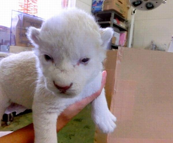 日本白狮生下双胞胎萌宝似玩偶(组图)|宝宝|园长_凤凰图片