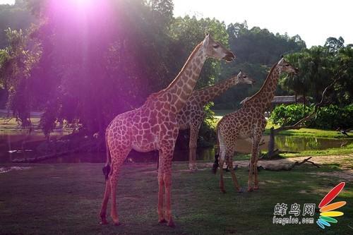 在动物园里需要参观较大型的野生动物(如老虎,豹子,熊等猛兽)需要