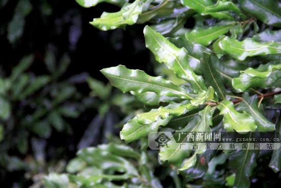 澳洲坚果的树叶外形美观,四季常绿.广西新闻网记者 宋瑶 摄