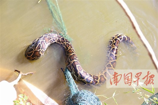 大蟒蛇被鱼塘的渔网卡住。隆壮文摄