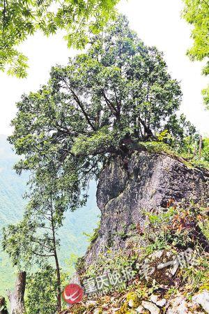 300年崖柏|树龄|自然保护区_凤凰资讯