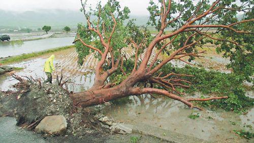 台风凤凰逼近台湾 金城武树戒备(图)|金城武