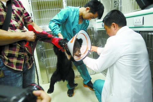 医生正在给小熊打针