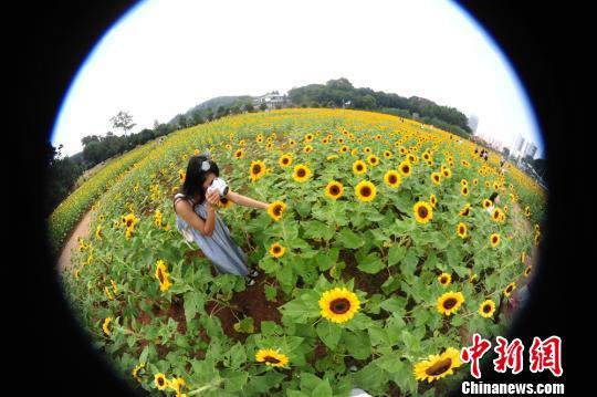 一位美女正在拍摄向日葵。 杨华峰 摄