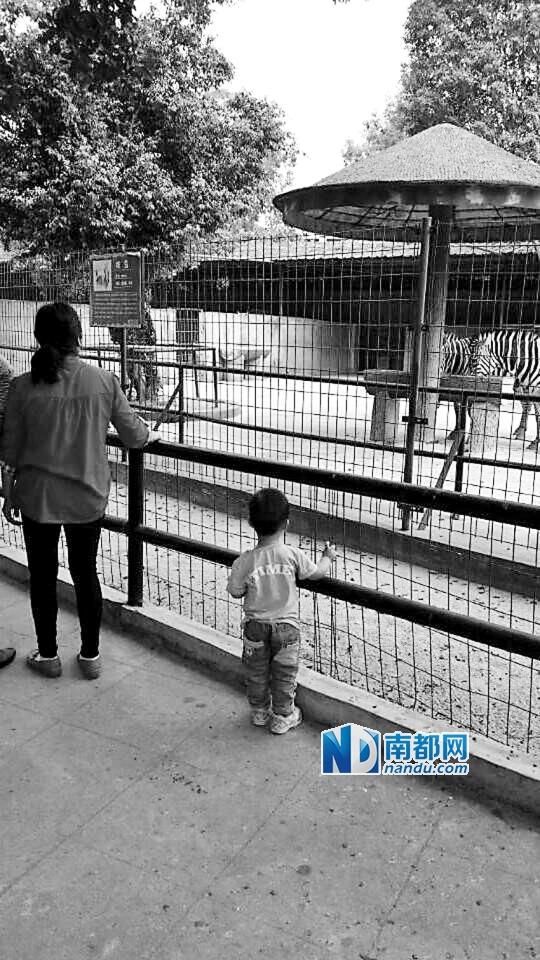 中山公园动物园内针对游客的温馨提示。 近日,河南平顶山河滨公园内一名9岁的小男孩翻过一米二高的护栏去喂食黑熊时,右手臂不慎被咬掉,目前已截肢正在郑州接受治疗。事实上,动物伤人的事件并不罕见,仅在云南昆明动物园,近年就曾经发生过多起大象、老虎攻击游客的案例。作为好动又好奇心强烈的群体,年幼的孩子更是触发这类惨案的高发人群,在为被咬断胳膊的小男孩扼腕痛心之余,作为监护人的家长们不妨拷问下自己:带娃逛动物园,你知道有哪些安全隐患? 家长担忧动物园内安全设施 南都记者来到中山公园动物园,现场走访了十多位带娃出游