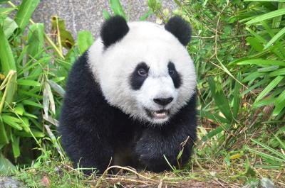 壁纸 大熊猫 动物 400_265