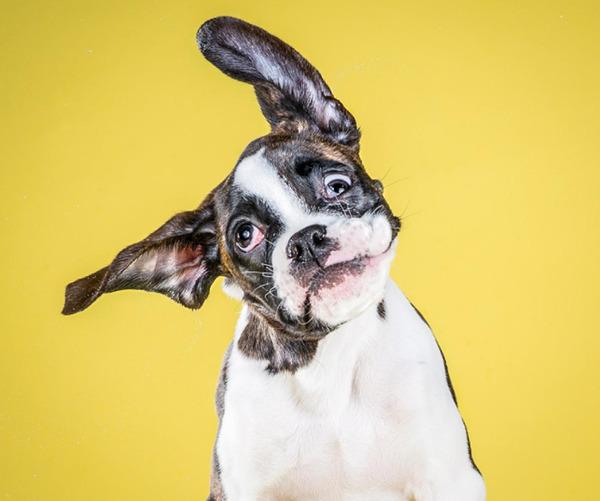 国际在线专稿:据《纽约每日新闻》10月28日报道,美国摄影师卡利戴维森(Carli Davidson)10月28日出版了她的新书《摇摆小狗》(Shake Puppies),集中向人们展示了超过60种狗狗们在甩动身体时的奇妙慢镜头瞬间,小狗们可爱的模样甚至可以融化人心。