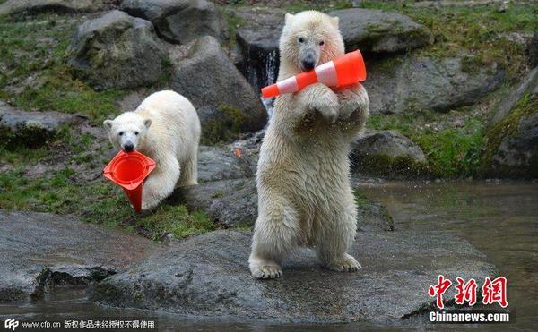 德国慕尼黑,海拉布伦动物园中一对一岁大的双胞胎北极熊开狮子派对,获生日土豪坐汽车图片