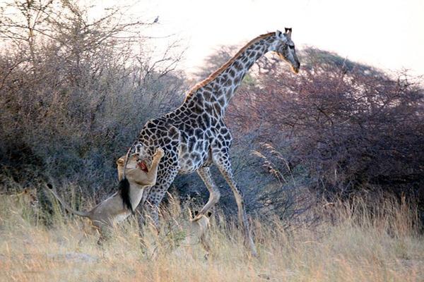 非洲母狮艰苦缠斗撕打咬死高大长颈鹿(高清组图)