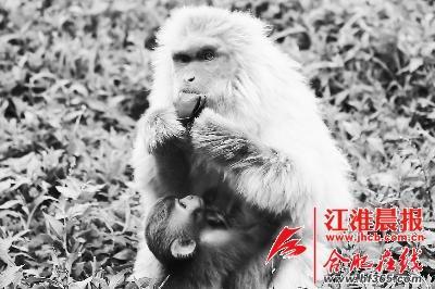 合肥野生动物园里的黑猩猩