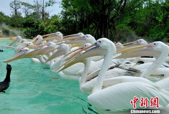 """一群""""大嘴怪""""20日来到横琴长隆海洋王国,当天开放的""""海鸟世界""""成了今年暑期最受孩子关注的亮点。 刘卫勇 摄"""