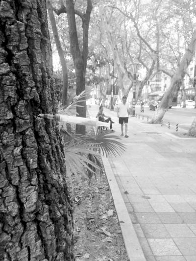 解放公园路行道树上插着注射器.