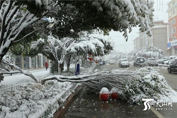 巴里坤县降大雪,一些树木被雪压断