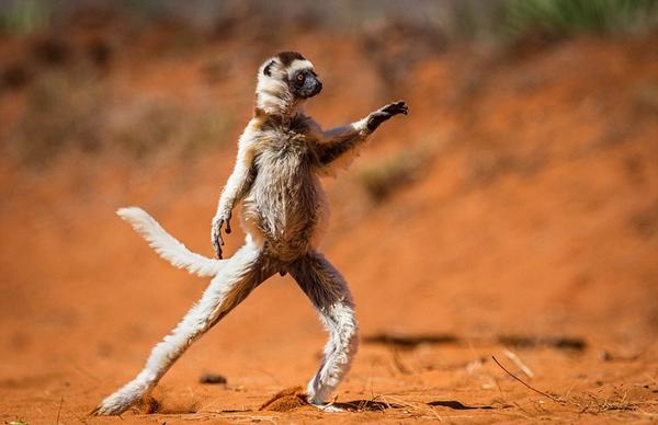奇趣野生动物摄影奖入围作品曝光 狐猴跳舞松鼠练功夫