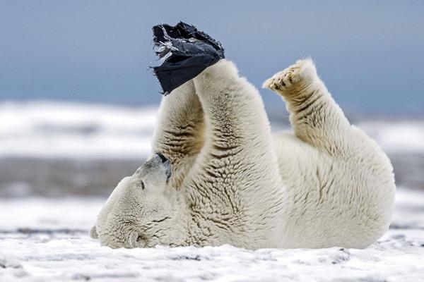 冰天雪地里的萌物们:北极熊上演有趣拳击赛(鱼头)怎么扎的章组图图片