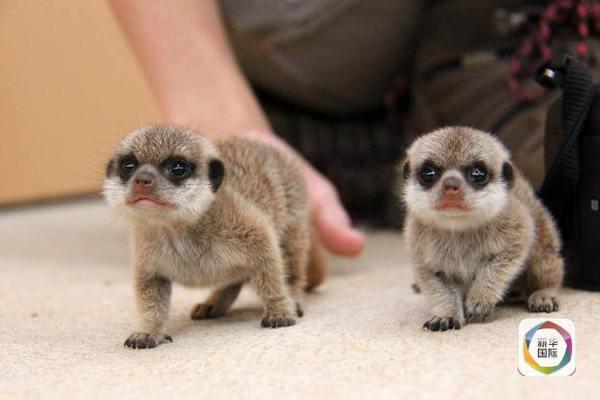悉尼动物园新出生的狐獴萌萌哒