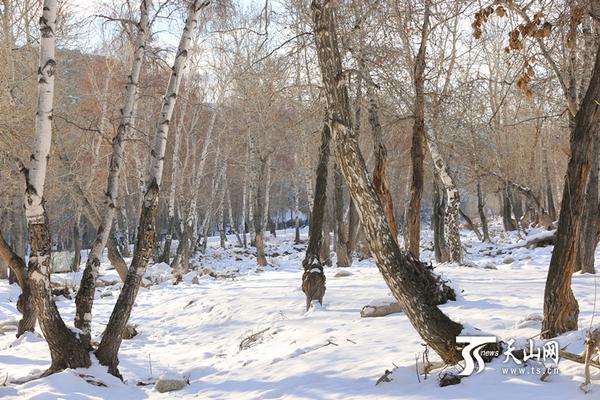 冬季的白桦林宛如童话世界|白桦树|白桦林_凤凰资讯