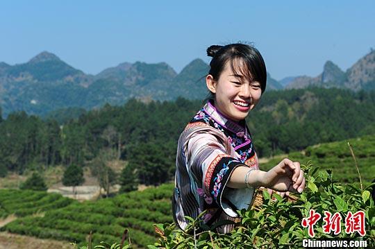 一位身穿布依族服饰的少女在茶园采摘春茶.中新社记者 贺俊怡 摄-贵图片