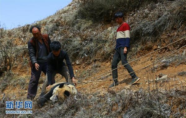 昭觉县补约乡散普村散普社村民围住大熊猫并