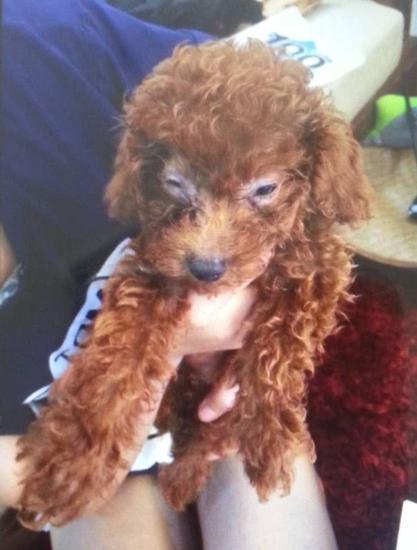 宁波1女子买泰迪犬养3天死亡 宠物店称喂食噎死