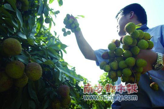 主推产品:糯米糍,桂味 联游:果园毗邻东莞市植物园与水濂山森林公园