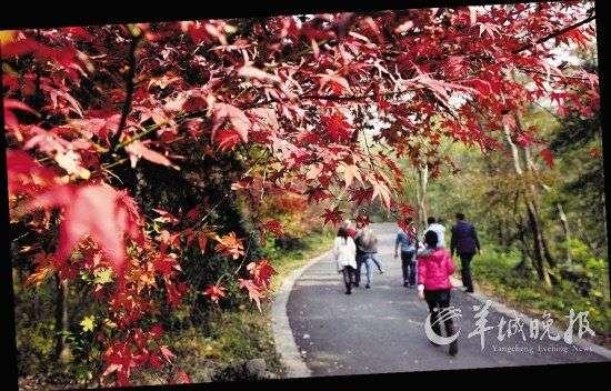 山中多枫树,乌柏树,偶尔还夹着几棵青翠欲滴的松柏,每到深秋,红叶如火