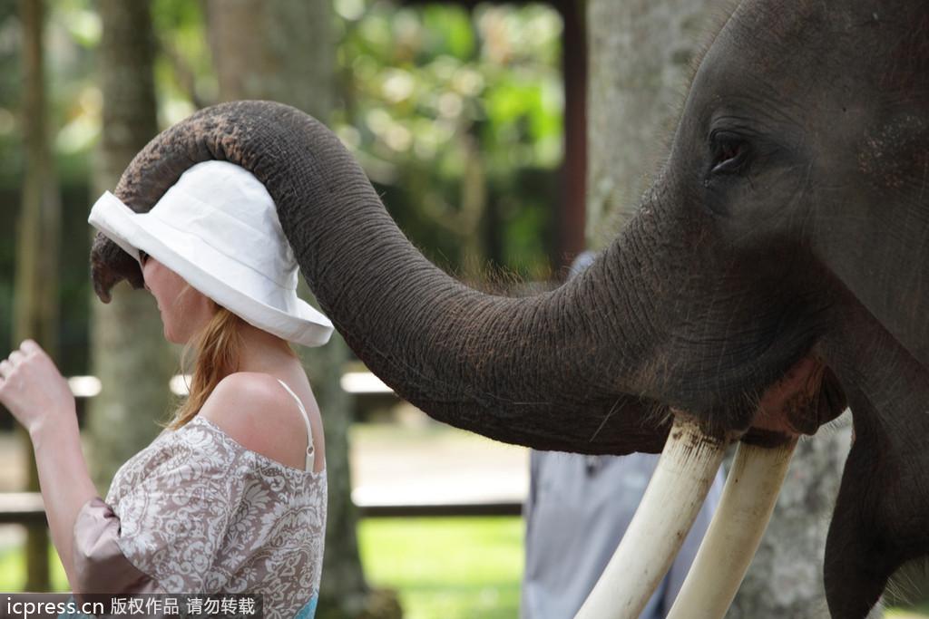 大象野生动物园酒店座落于3.5公顷的绿色花园中,位于乌布地区的北部,距离乌布文化和艺术中心大约20分钟的车程。酒店采用safari风格式,饲养27头可爱的大象,这些大象叫苏门答腊大象,是当今稀有并且已濒危的物种。在酒店的居住的旅客可以聆听大象的声音,和它们游玩,观察他们的起居生活,尽情感受大自然生物的气息。