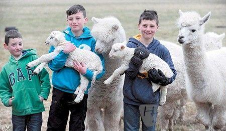羊驼保护小羊羔