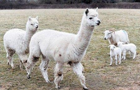 萌神兽来牧羊