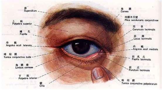 眼部结构示意图