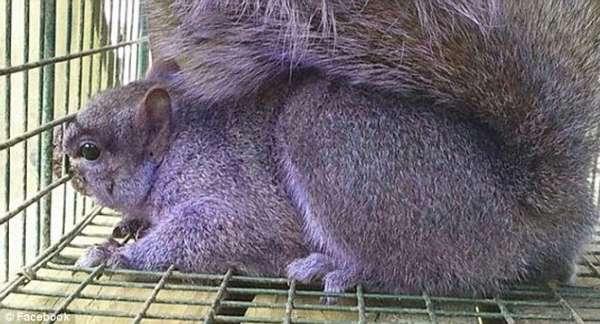 美国夫妇无意间捕获一只紫色小松鼠 颜色罕见引起各种猜想
