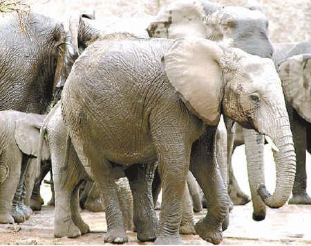 壁纸 大象 动物 犀牛 野生动物 450_355