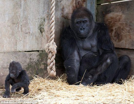 """寻找足迹:从布里斯托尔动物园出生以来,只有7个月大的大猩猩宝宝库克那第一次离开妈妈怀抱,蹒跚学步。 库克那正逐渐变得强壮,已经能吃香蕉等软性食物了。与此同时,它还离不开沙洛姆的奶水。3岁以前,库克那会一直喝妈妈的奶水,好使身体变得越来越结实。除沙洛姆和库克那以外,布里斯托尔动物园大猩猩岛的居民还有银背大猩猩""""乔可""""和成年雌性大猩猩""""罗米娜""""。乔可是库克那、6岁""""纳莫奇""""、5岁""""科马拉""""和7岁""""克拉"""