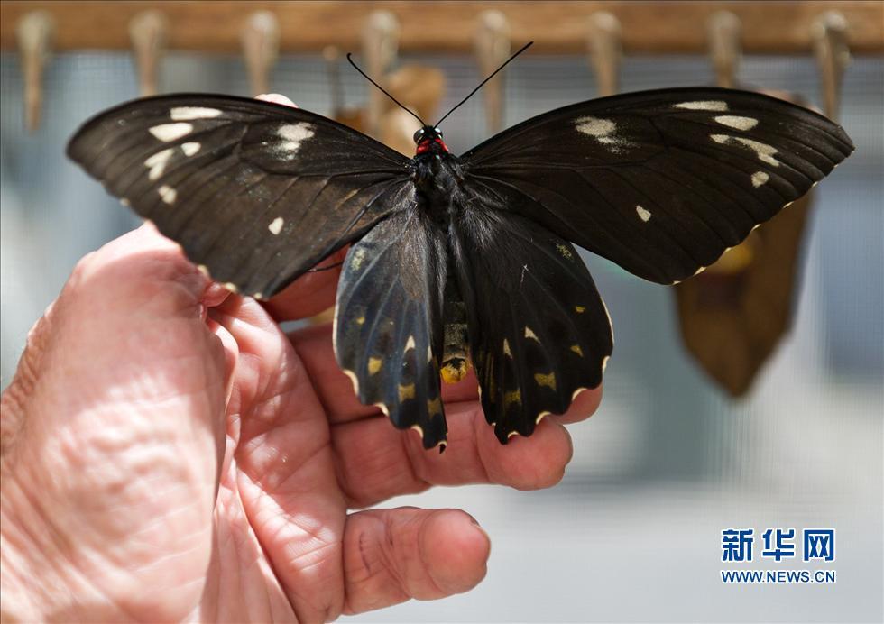 """墨尔本动物园将在11月24日至25日举行""""花园周末"""",游客将有机会在蝴蝶养殖房看到蝴蝶由卵发育为成虫的各个时期的型态和澳大利亚最大的蝴蝶品种""""鸟翼蝶""""。"""