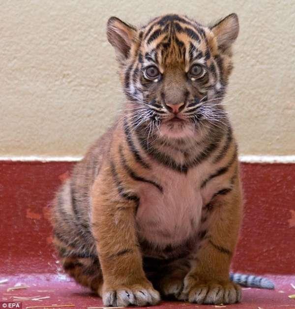 这只未命名的幼虎于2月10日出生,现居旧金山动物园。幼虎的妈妈Leanne十分警惕,决不让幼虎脱离自己的视线。动物园的科琳娜说,他们一直希望Leanne能够到走开一会,以便他们能够与幼虎有一对一的相处机会。我们想要抚摸幼虎,想要抱抱它,这样它就能尽早熟悉我们。但Leanne的整个世界都是自己的孩子,直到最近才改变。