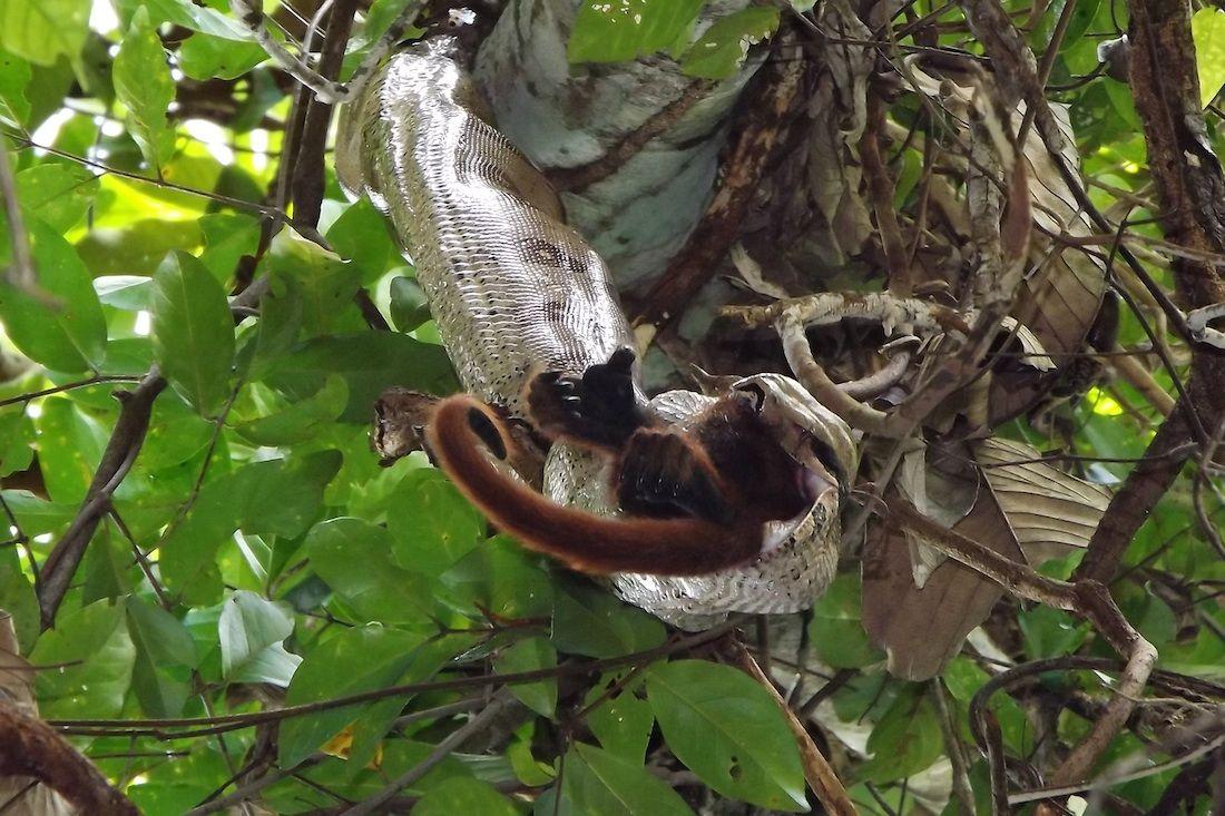 科学家在亚马逊目击蟒蛇生吞吼猴(图)