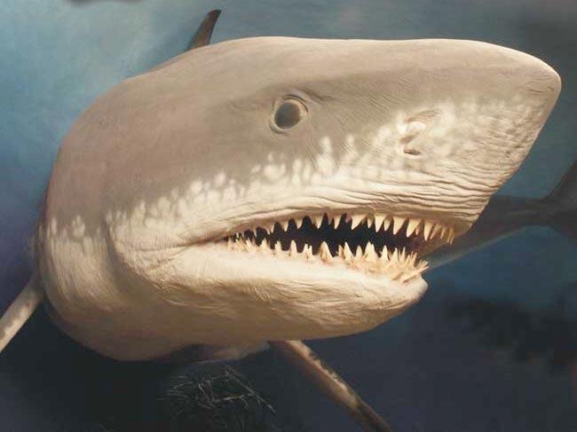 最大巨牙鲨灭绝未解之谜:体型太过巨大