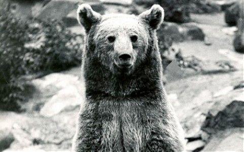 """二战波兰军中英""""熊"""":获士兵身份 帮忙搬运弹药"""