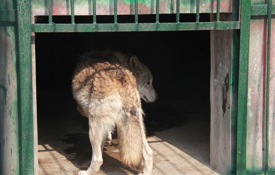 """山东枣庄""""疑似母狼""""表现温顺 被捆绑带走验身"""