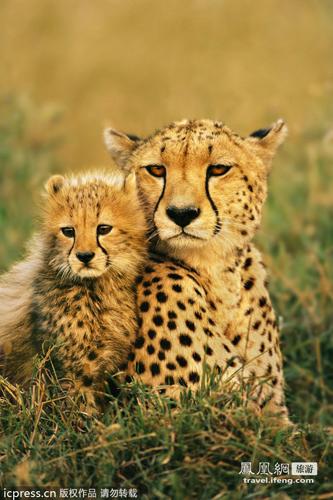 动物头像霸气猎豹