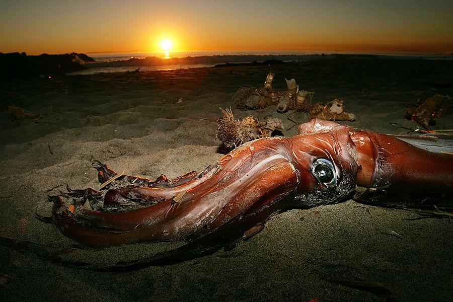 """由于生活在太平洋幽深的海底,人们对神秘的""""大乌贼""""了解得并不多。而在水手们之间流行的一个传说:它们巨大的触须能够从海床直接延伸到海平面,它们强有力的吸盘可以撕裂船身。事实上,""""大乌贼""""一般最大可以长到18米长900公斤重。"""
