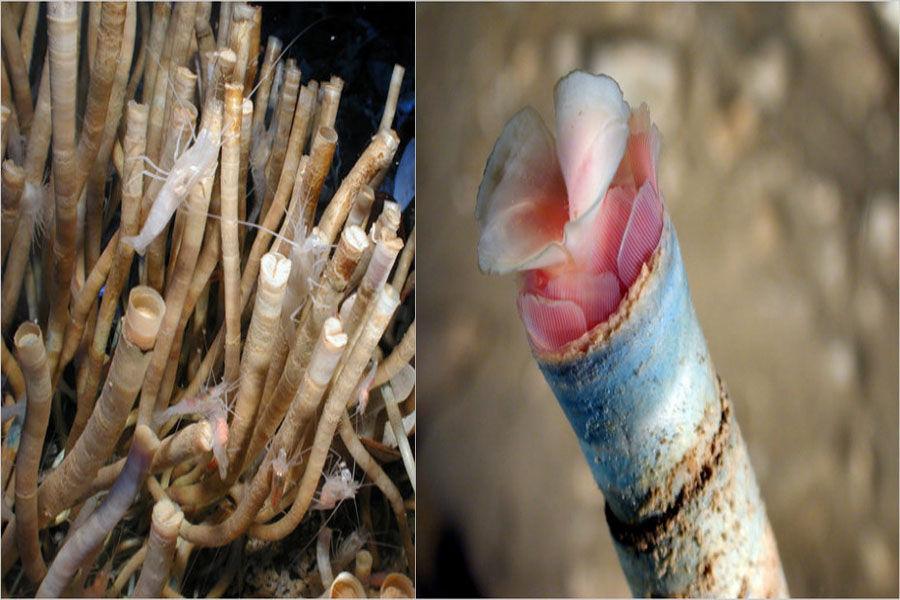 管状蠕虫,身长能达到1~2米。管状蠕虫体内的共生菌从热液中获取硫离子,又从海中获得氧气,合成管状蠕虫生存所必须的有机物。所以管状蠕虫必须生活在能同时接触到海水和热液的区域,蠕虫,有着和哺乳动物一样鲜红的血液。