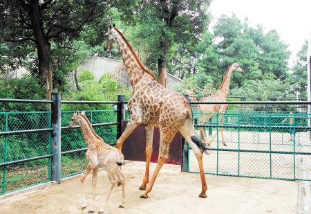"""长沙生态动物园内,长颈鹿""""鹏鹏""""带宝宝走动."""