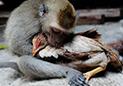 野猴杀鸡给人看