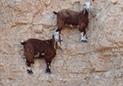 野山羊峭壁行走