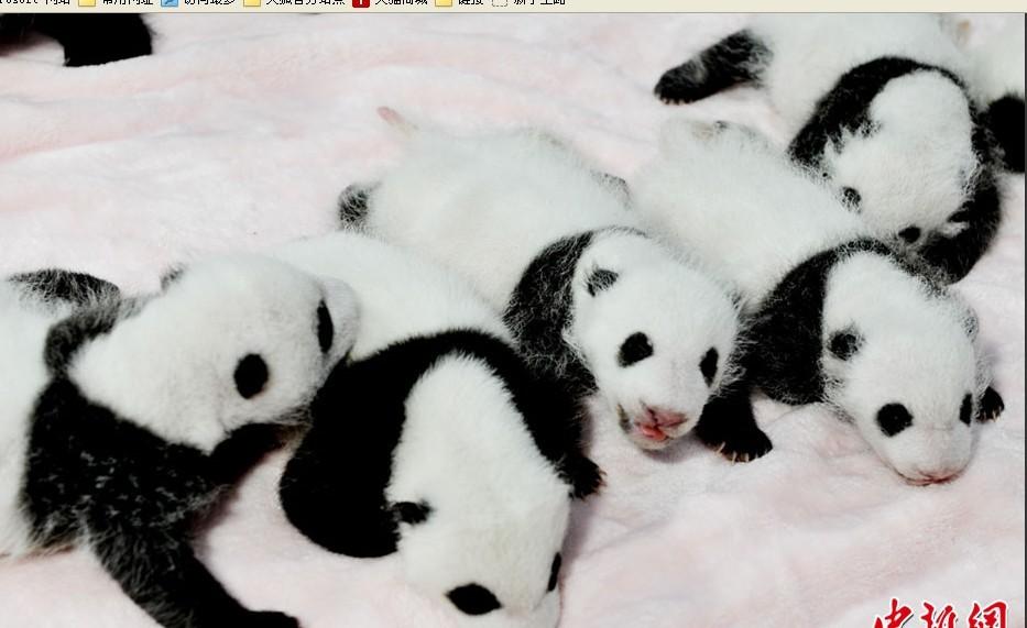 超萌美图:成都新生大熊猫宝宝集体登场