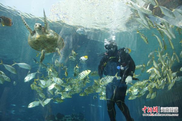 9月27日,不用到马尔代夫,也能在用餐时观赏到热带海洋海底的美景。三亚就有一家独特的海洋餐厅。 该餐厅是中国首家酒店内的海底餐厅,酒店从海边引进6000立方的海水,游客可以观赏到7000多条,包括海石斑、鲨鱼、玳瑁、鲨鱼等400多种的海洋生物,可以品尝到法式美食,还可以在这里举办一场梦幻的海底婚礼,喜欢潜水的游客,还可以穿上潜水服,与海洋生物来一次亲密接触。